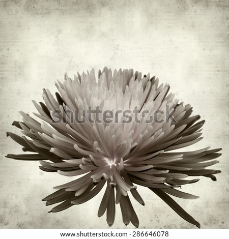 textured old paper background with  Chrysanthemum - stock photo