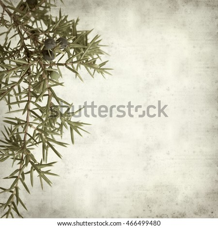 textured old paper background with comon juniper branches
