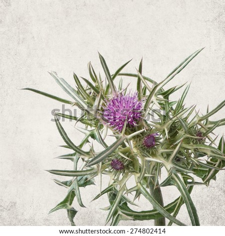 Textured old paper background with flowering herb of Syrian Thistle ( Cirsium syriacum, Notobasis syriaca) - stock photo
