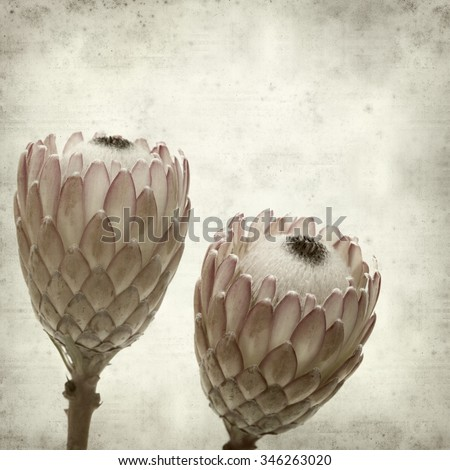textured old paper background with pink protea, sugarbush - stock photo