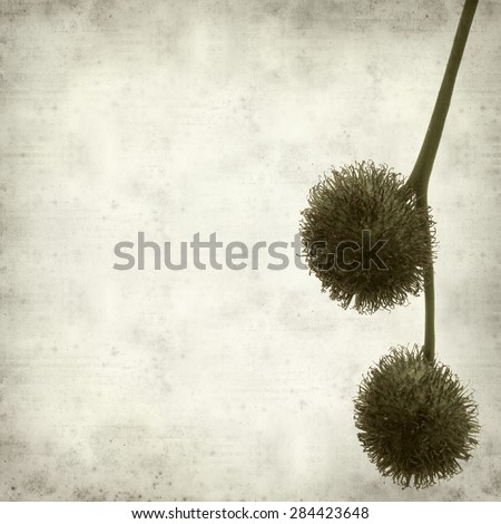 textured old paper background with plane tree seed ball