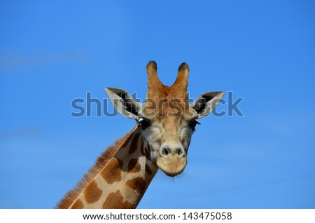 th is is a close up of a giraffe