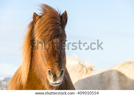 Th portrait of  brown shaggy Icelandic horse. Iceland.