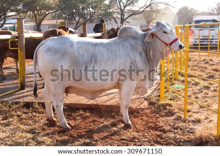 THABAZIMBI, SOUTH AFRICA - August 1:  Cattle Breeders Championship at Thabazimbi Show, on August 1, 2014 at Thabazimbi, South Africa. White Brahman bull standing in the morning sun.