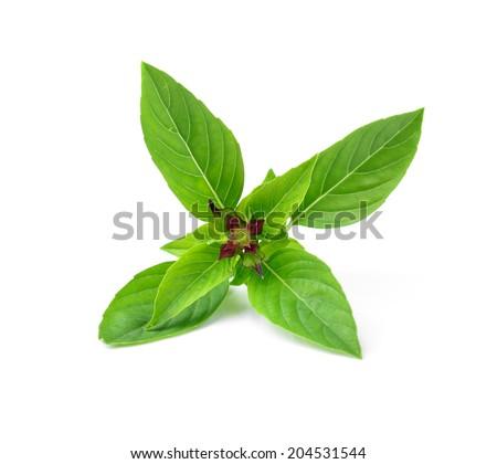 thai basil isolated on white background - stock photo