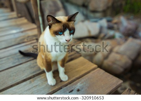 Thai Brown Cat Sitting on wooden pathway, Cute Thai cat