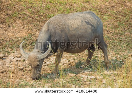 Thai buffalo is grazing in a field.