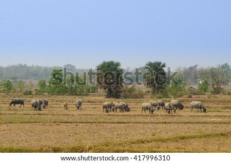 Thai Buffalo walk over the field.