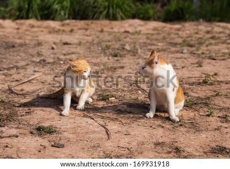 Thai cat are fighting - stock photo