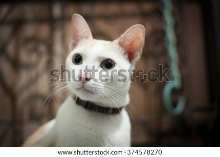 Thai cat at home - stock photo