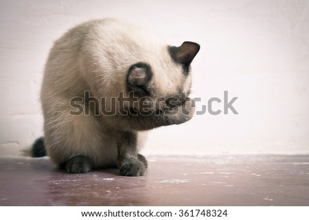 Thai Cat breed washes his muzzle sitting on the floor - stock photo