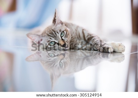 Thai cat in looking action with reflect. - stock photo
