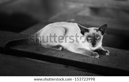 Thai cat is a traditional or old-style siamese cat  - stock photo