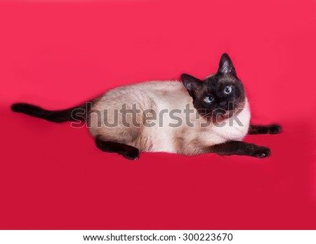 Thai cat lies on red background