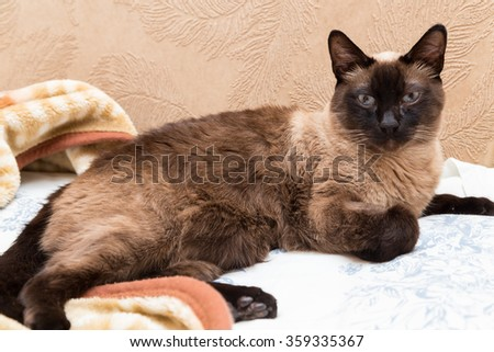 Thai cat on the sofa