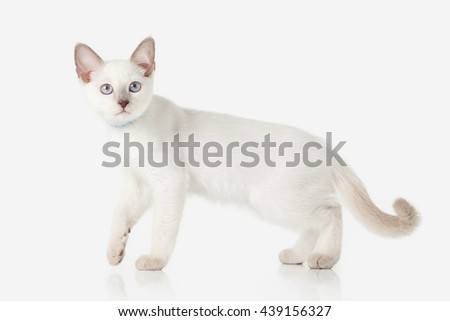 Thai cat on white background