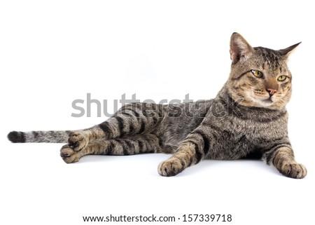 Thai cat sitting on white background - stock photo