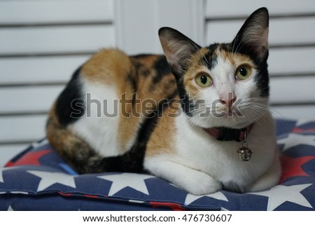Thai cat, Three color cute cat relaxing on floor pillow, looking straight