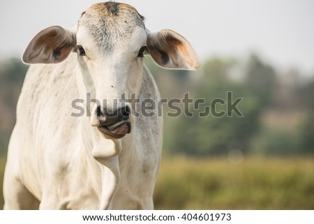Thai cow in the field.