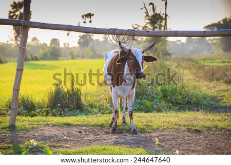 Thai cows in field at thailand - stock photo