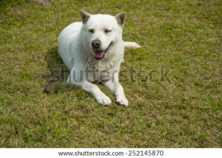 Thai Dog lying on the lawn