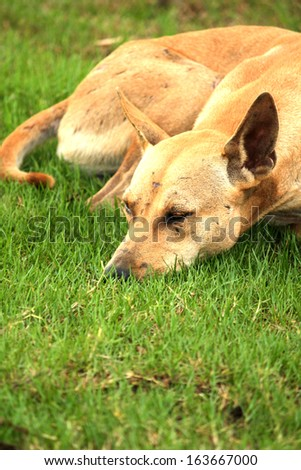 Thai Dog on the field - stock photo