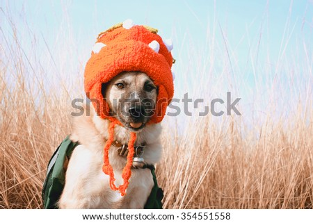 Thai dog wear a knitted hat sitting in autumn field. - stock photo