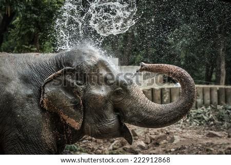 Thai elephant daily bath - stock photo