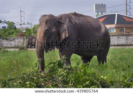 Thai elephants,An Elephant eating green grass. - stock photo