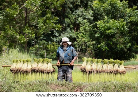 Thai farmer grow rice in the rainy season. He is carrying the rice sprouts on the shoulder.they are soaked with water and mud to be prepared for planting. wait three months to harvest crops. - stock photo
