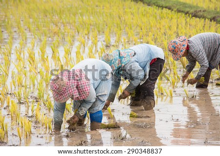 Thai farmers are transplanting in the rice field.