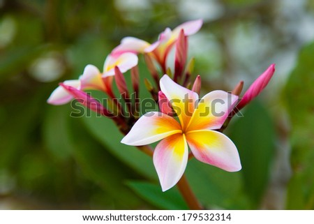 Thai flower growing on the tree - pink and yellow frangipani - stock photo