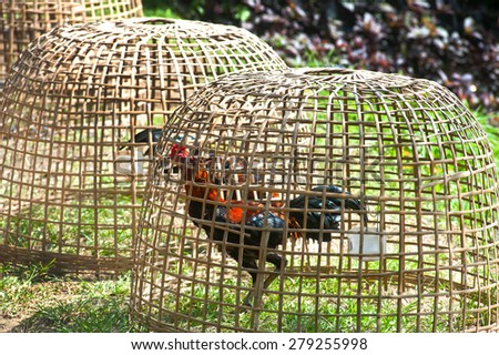 Thai gamecock in the coop. - stock photo