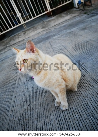 Thai half-breed Persian cat,cream color.