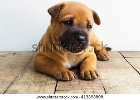 Thai hybrids brown puppy dog - stock photo