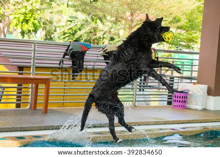 Thai labrador retriever jump for the ball on swimming pool - stock photo