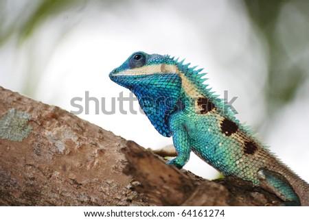 thai lizard on tree - stock photo