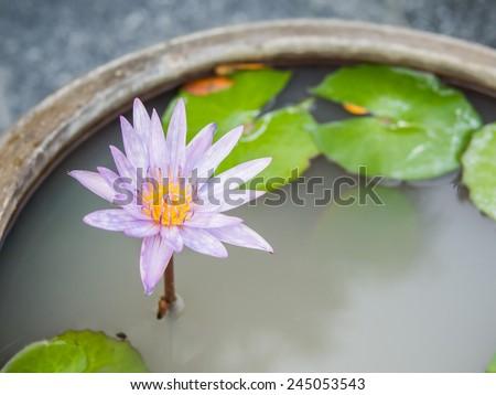 Thai lotus flower dauben scientific name stock photo royalty free thai lotus flower or dauben scientific name nymphaea spphybrid of nymphaea mightylinksfo