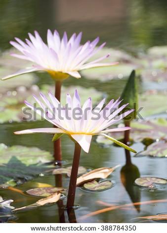 Thai lotus flower dauben scientific name stock photo safe to use thai lotus flower or dauben scientific name nymphaea spphybrid of nymphaea mightylinksfo