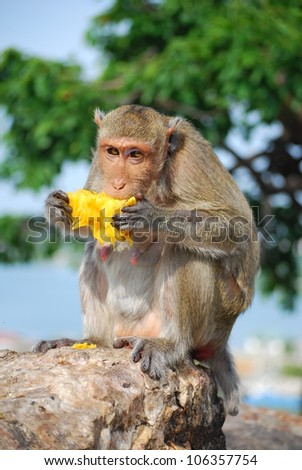 Thai monkey eating Jack fruit on the  rock - stock photo
