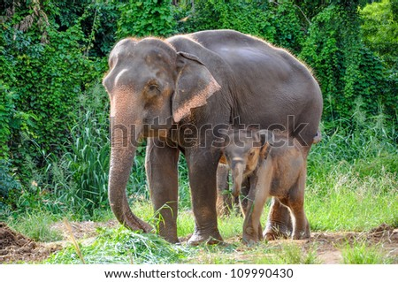 Thai mother elephant and calf eating vegetation in the At the Elephant Village Kanchanaburi, Thailand. - stock photo