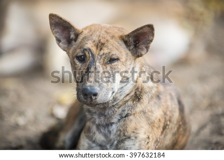 Thai native home dog eye focus
