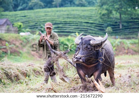 THAI NGUYEN, VIETNAM - JUL 13: land preparation for rice planting on Jul 13, 2014 in Thai Nguyen, Vietnam. Buffalo are still the most popular power source for land preparation in Vietnam - stock photo