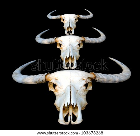 Thai old buffalo skulls on black background. - stock photo