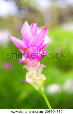 gratis prr tulip thai