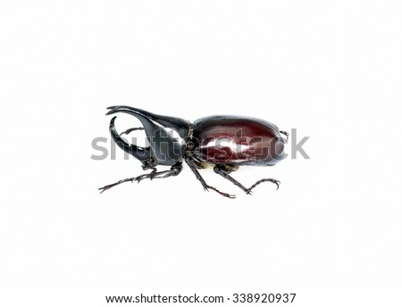 Thai rhinoceros beetle