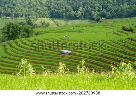 Thai rice. - stock photo