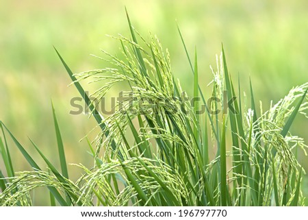 Thai rice exporters, is one of the world. - stock photo