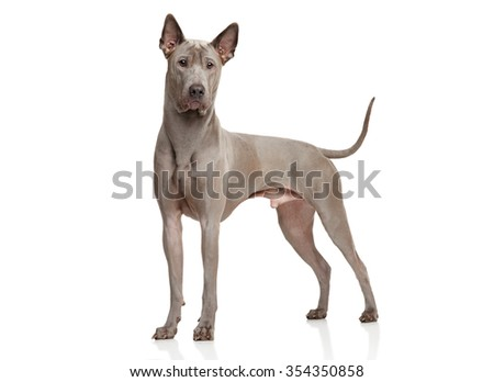 Thai Ridgeback dog stand in front of white background