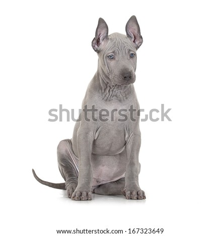 Thai ridgeback puppy isolated on white, two months old